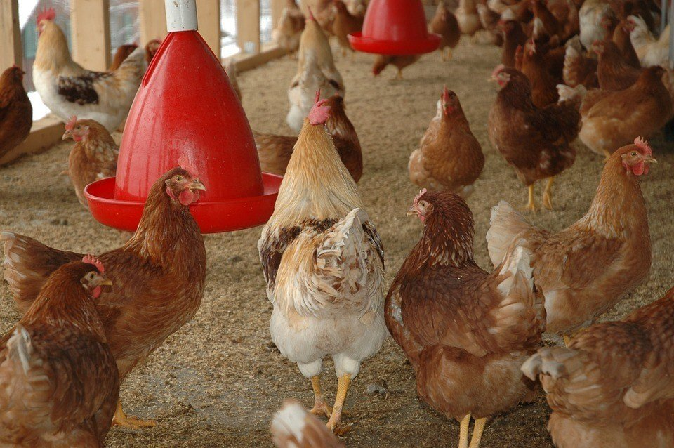 Selbst einen Hühnerstall bauen!